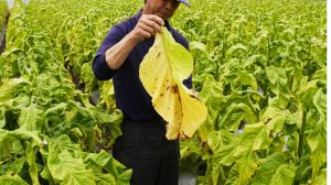 タバコの葉